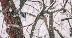 Nuthatch i snow arkivbild