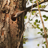 A Nuthatch improving it´s nest Royalty Free Stock Photo
