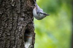 Nuthatch look around, guards the nestlings. Passerine bird Sitta europaea near the nest on green background Stock Image