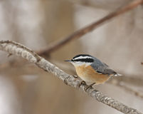 Nuthatch met rode borst (canadensis Sitta) Royalty-vrije Stock Foto's