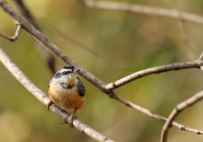Nuthatch met rode borst, canadensis Sitta Stock Foto