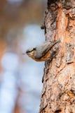 Nuthatch met rode borst (Sitta-canadensis) is een kleine zangvogel. Stock Foto's