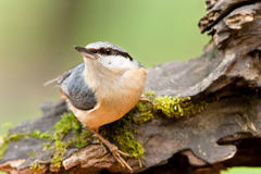Nuthatch on Mossy Tree Stump Royalty Free Stock Images