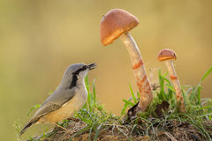 Nuthatch mushroom watch Royalty Free Stock Photos