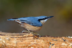 Nuthatch in natural habitat (sitta europaea) Stock Photo