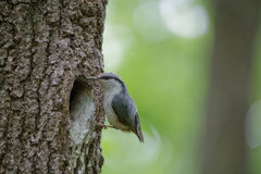 Nuthatch near the nest in hollow of the oak. Forest passerine bird Sitta europaea at spring. Eurasian small passerine bird Sitta europaea near the nest royalty free stock photo