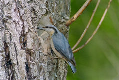 Nuthatch at nest hole Royalty Free Stock Photo