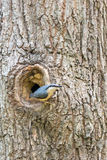 Nuthatch at nest in tree Stock Photos