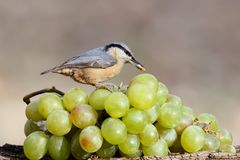 Nuthatch with a nut in its beak sits on a bunch of white grapes. From the series `Birds on Objects`. Nuthatch with a nut in its beak sits on a bunch of white Royalty Free Stock Photography