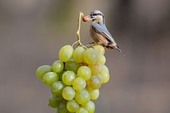 Nuthatch with a nut in its beak sits on a bunch of white grapes. From the series `Birds on Objects`. Nuthatch with a nut in its beak sits on a bunch of white Stock Images