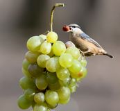Nuthatch with a nut in its beak sits on a bunch of white grapes. From the series `Birds on Objects`. Nuthatch with a nut in its beak sits on a bunch of white Stock Photos