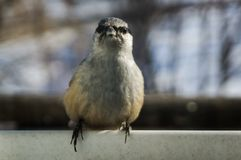 Nuthatch. On the cornice in winter in soot Royalty Free Stock Photography