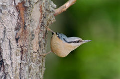 Nuthatch out of its nest Royalty Free Stock Images