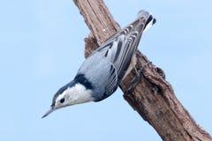 Nuthatch på en Tree Fotografering för Bildbyråer