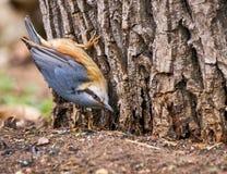 Nuthatch på en Tree Arkivfoto