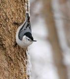 Nuthatch på ett träd Royaltyfria Foton