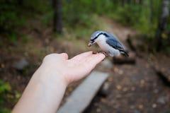 Nuthatch på räcka i parkera Fotografering för Bildbyråer