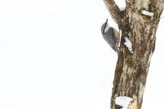 Nuthatch på stammen av ett träd Royaltyfri Bild