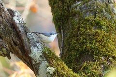 Nuthatch på stammen av ett träd Royaltyfria Foton