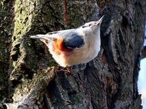 Nuthatch på träd Royaltyfri Fotografi
