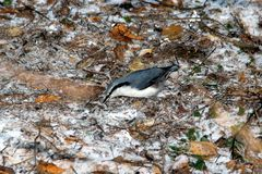 Nuthatch on the path. Nuthatch on a path strewn with autumn leaves and first snow Stock Images