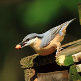 Nuthatch with Peanut. A Nuthatch (Sitta Europaea) with a peanut on a squirrel feeder stock photography