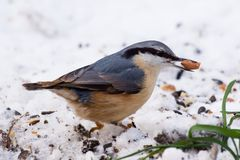 Nuthatch with a peanut Stock Images