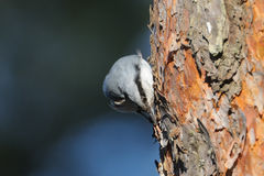 Nuthatch pecks pine-tree in spring Stock Photography