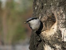 Nuthatch with peeled seed Royalty Free Stock Photos
