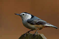Nuthatch perched Royalty Free Stock Images