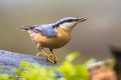Free Nuthatch Perched On Tree Trunk In Forest Stock Photography - 213757802