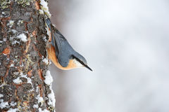 Nuthatch perched on a tree trunk in winter Royalty Free Stock Photo