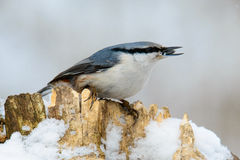 Nuthatch perched on a tree in winter Royalty Free Stock Image