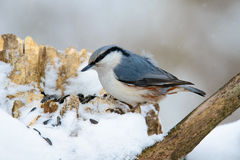 Nuthatch perched on a tree in winter Royalty Free Stock Photography