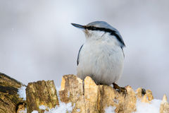 Nuthatch perched on a tree in winter Royalty Free Stock Photos