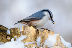 Nuthatch perched on a tree in winter Stock Image