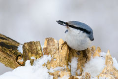 Nuthatch perched on a tree in winter Stock Photography
