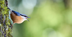 Nuthatch perched on a trunk. Nuthatch perched on a log of larch in the Swiss Alps Royalty Free Stock Photo