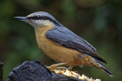 Nuthatch Perched on Wooden Log Stock Photography