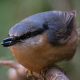 Nuthatch Perched on Wooden Log Royalty Free Stock Photo