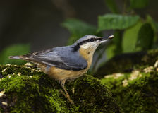 Nuthatch. A Photograph Of A Nuthatch Royalty Free Stock Image