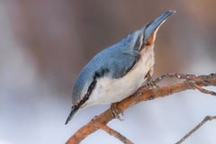 Nuthatch on pine sprig. Closeup of Eurasian nuthatch (Sitta europaea) sitting on a pine twig in winter forest Stock Photos