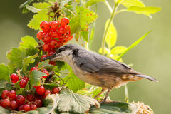 Nuthatch and red berries Royalty Free Stock Image