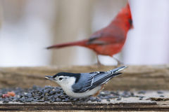 Nuthatch and Red Cardinal at feeder Royalty Free Stock Photo