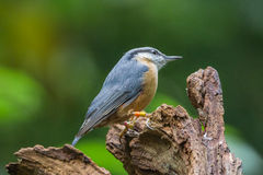 Nuthatch. Is relaxing on a tree Royalty Free Stock Photography