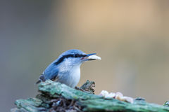 Nuthatch's Nut Stock Images