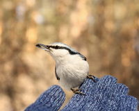 Nuthatch with seed in beak Stock Photography