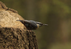 Nuthatch with seed Stock Image