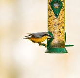 Nuthatch on Seed Feeder Royalty Free Stock Image
