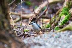 Nuthatch with seed in its beak Royalty Free Stock Photography